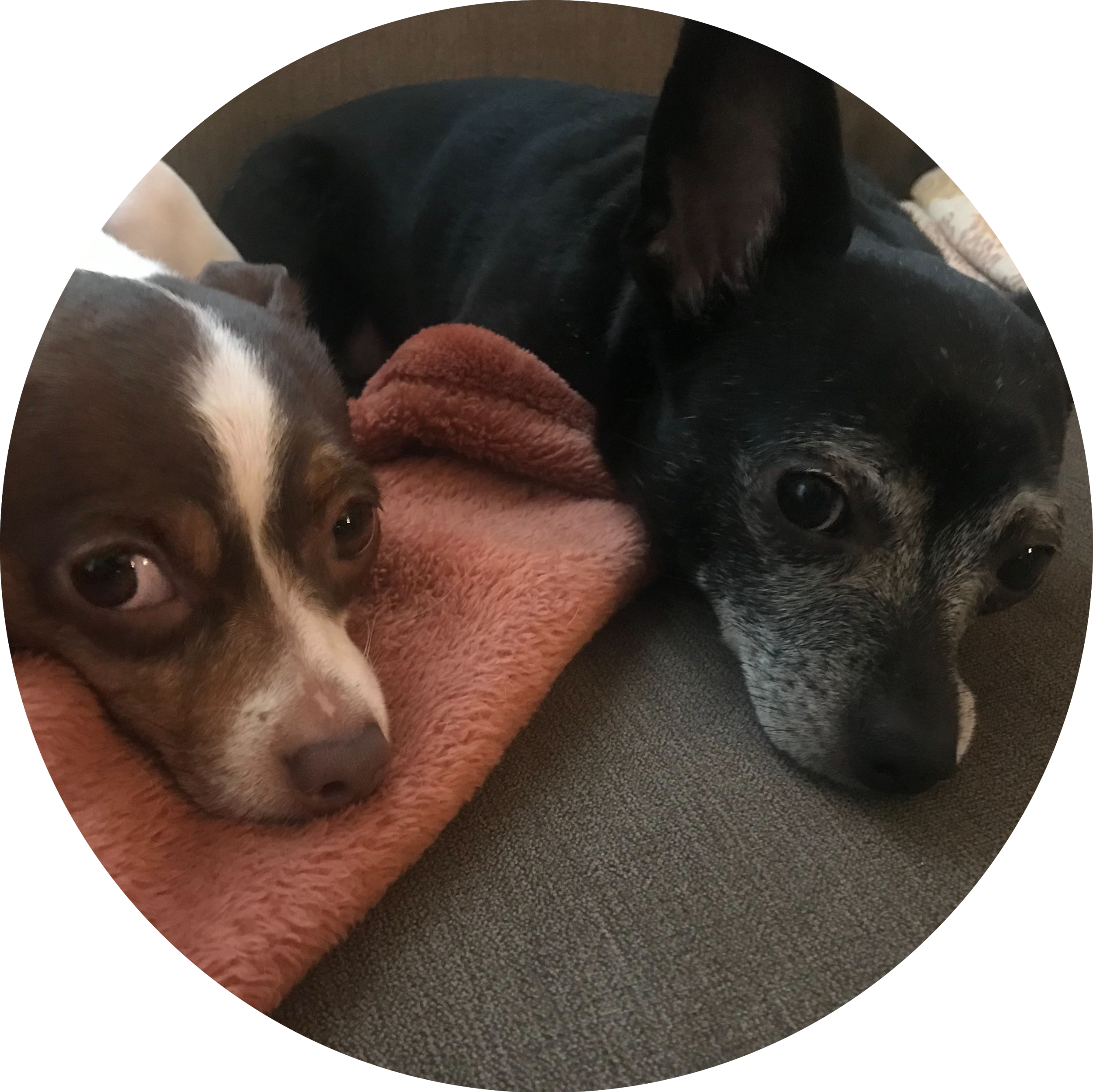 Two chihuahuas look skeptically at the camera