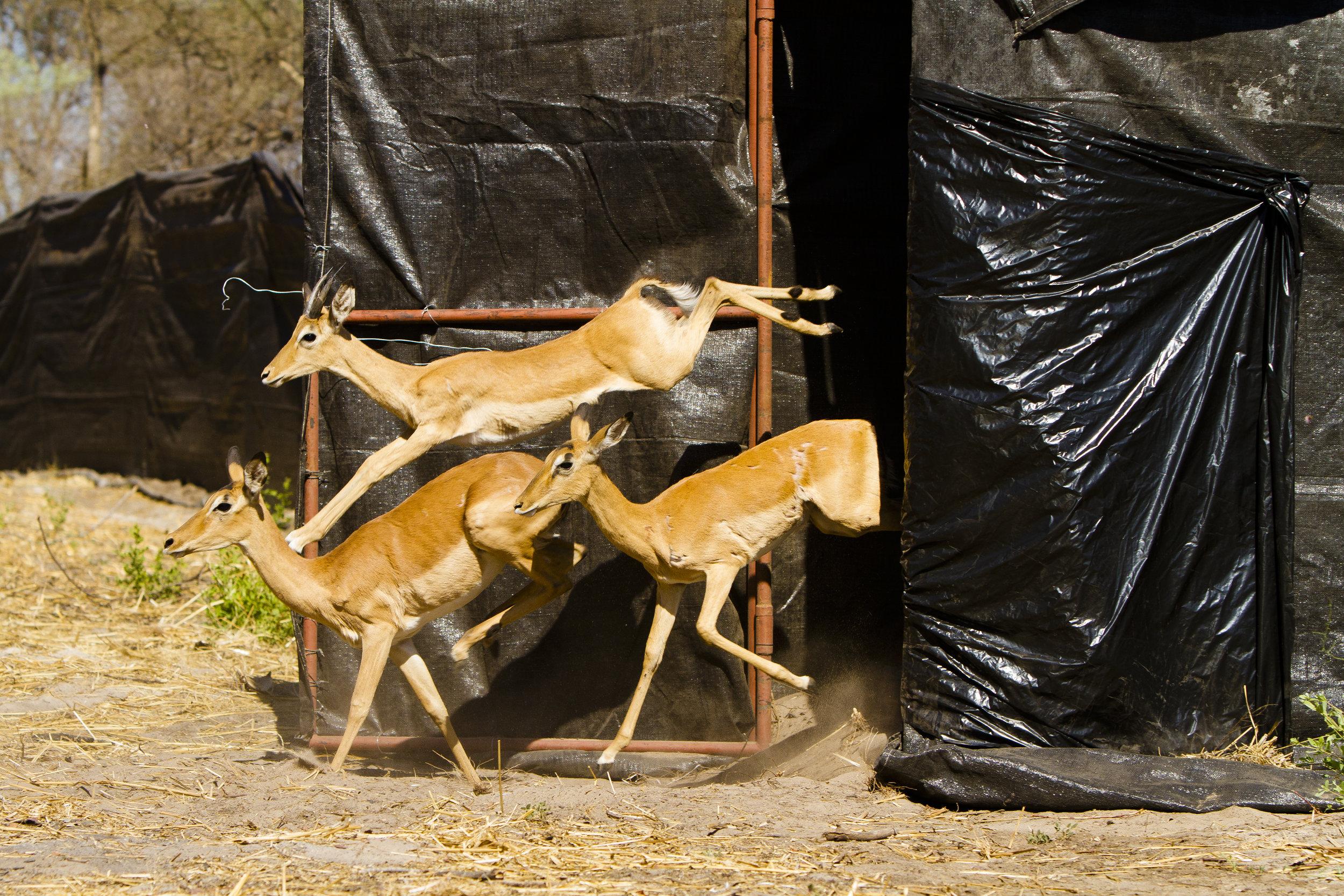 Rewilding in Simalaha