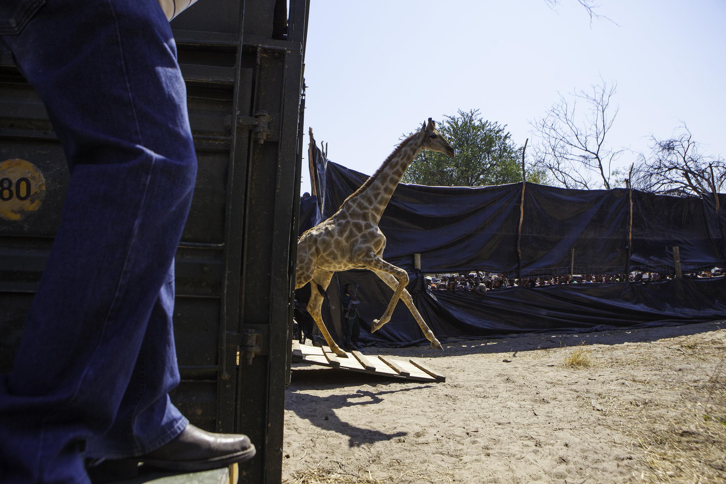 Kavango-Zambezi (KAZA): Translocation of a giraffe  (c) Peace Parks Foundation