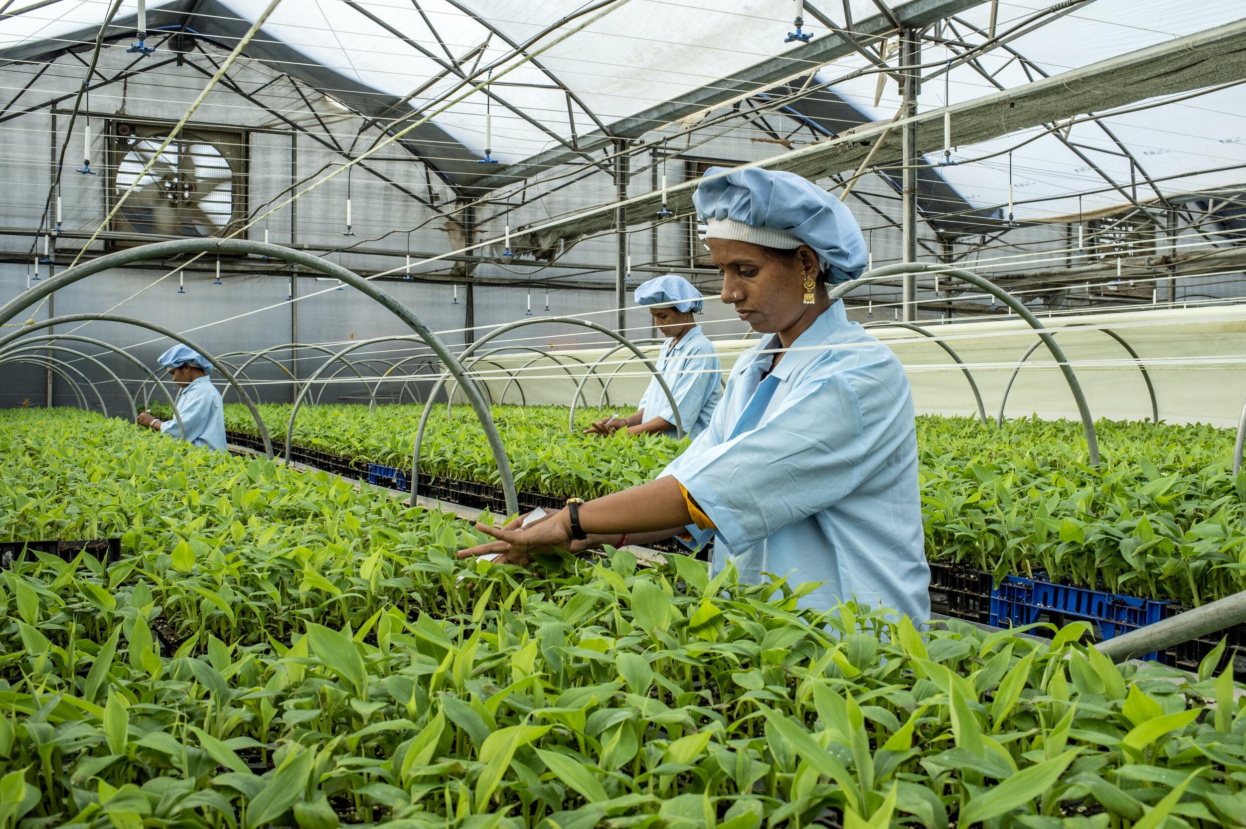 Tending the banana saplings – micro-irrigation project, Jalgaon, India (© FOLU/Panos)