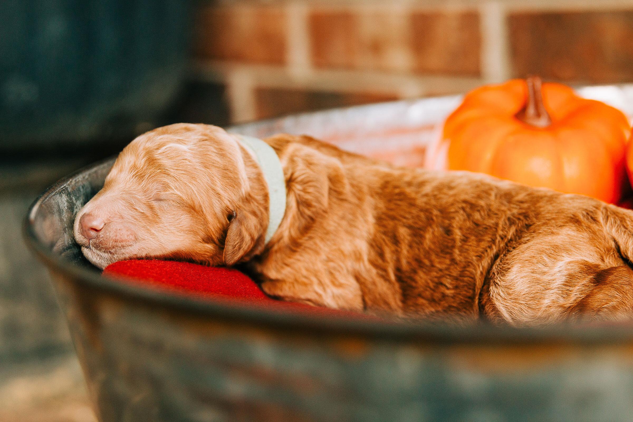 goldendoodle-puppy-caney-creek-doodles-3.jpg
