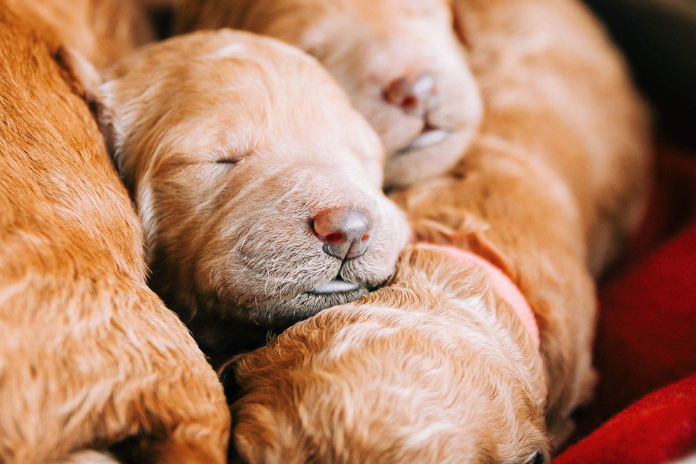 goldendoodle-puppy-caney-creek-doodles-nose.jpg