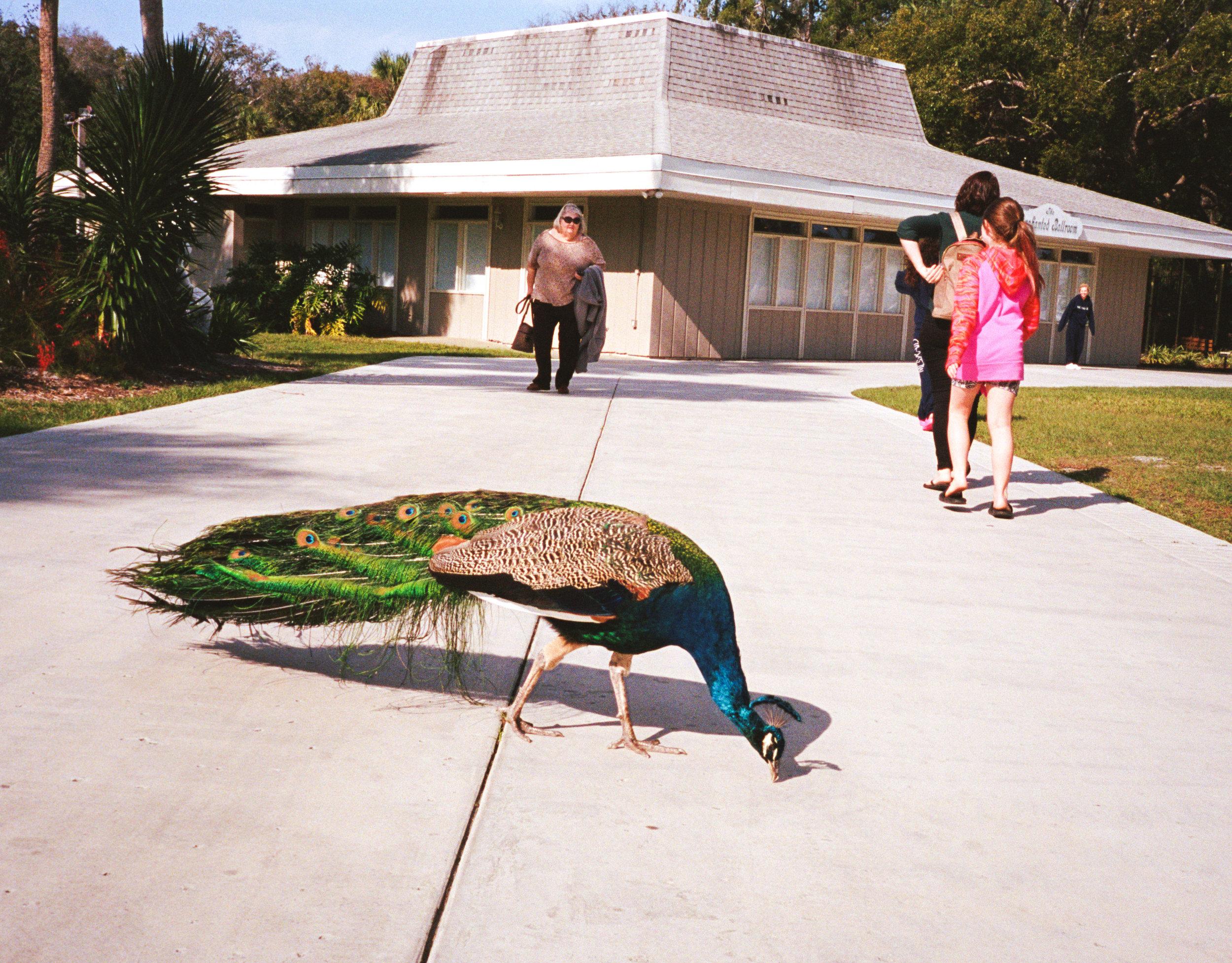 peacock2-1.jpg