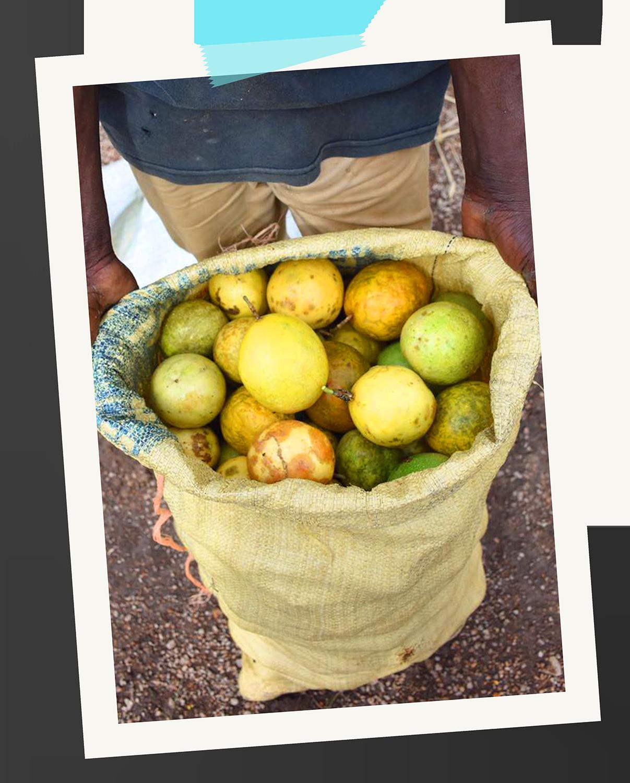 Dominican local guava farmer