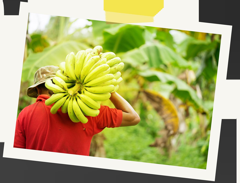 Banana farmer Dominican Republic