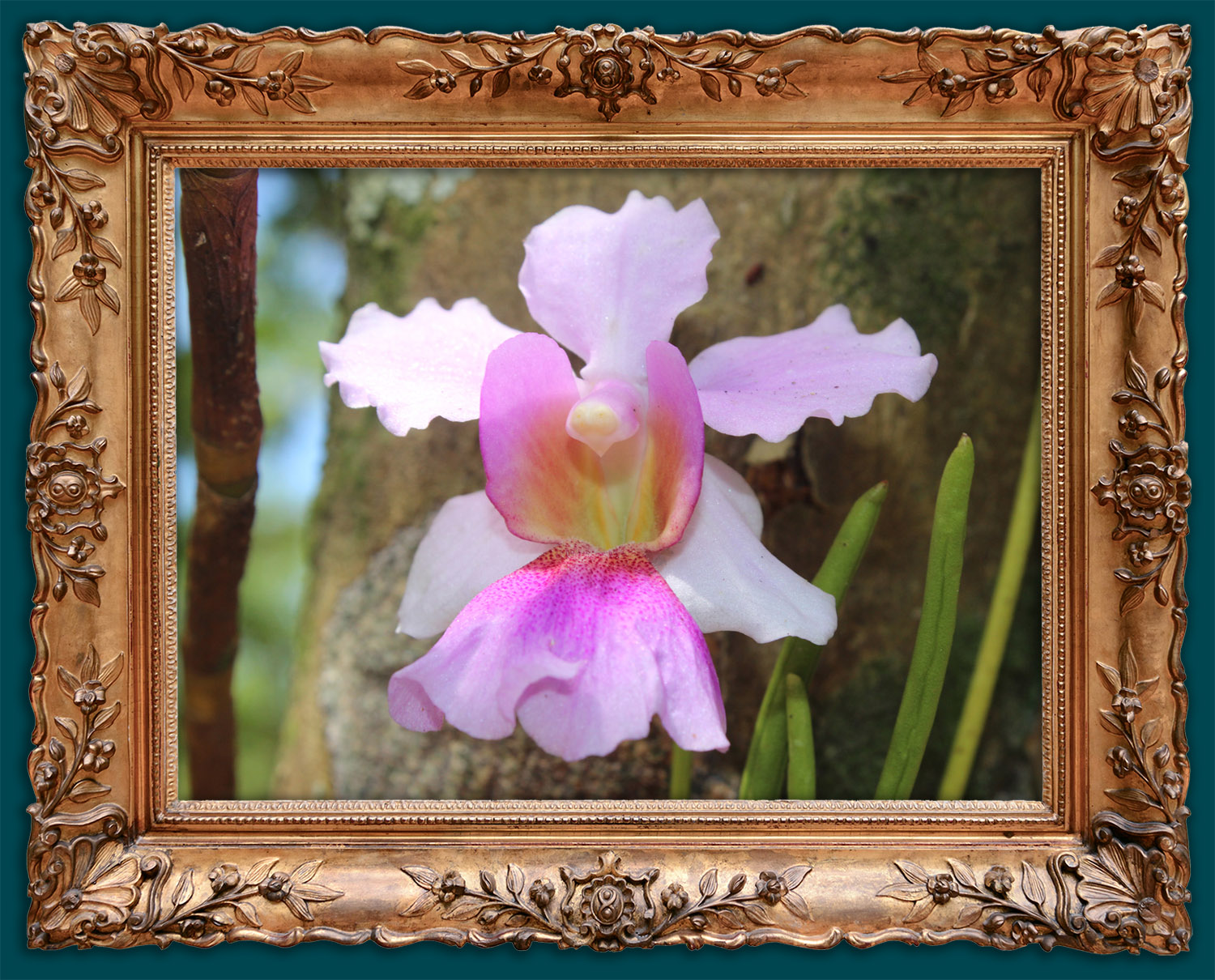 Our beautiful, local orchids