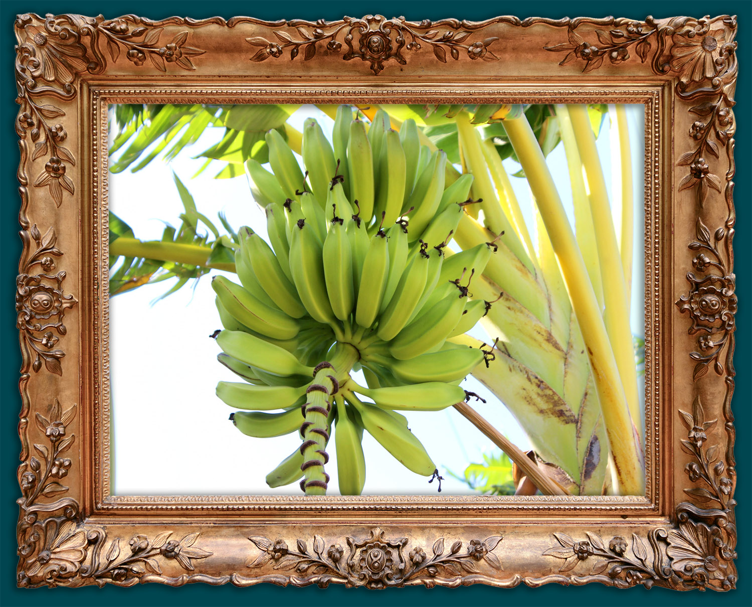 Bananas high up in our trees