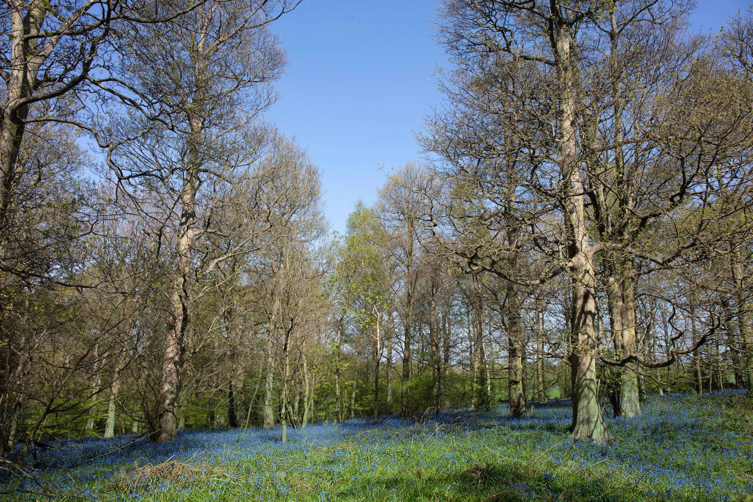 Bluebells2.jpg