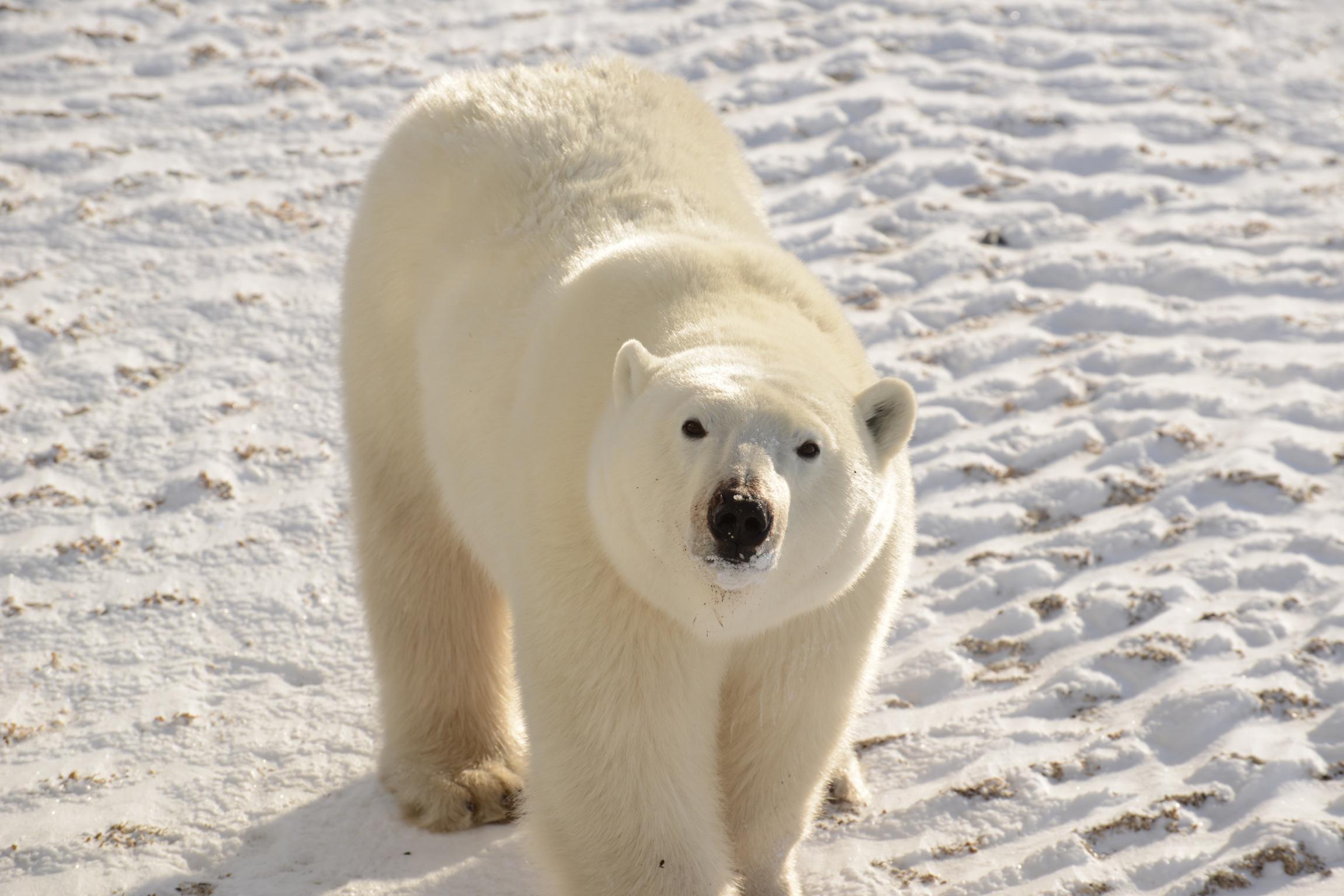 polarbear_9390.jpg