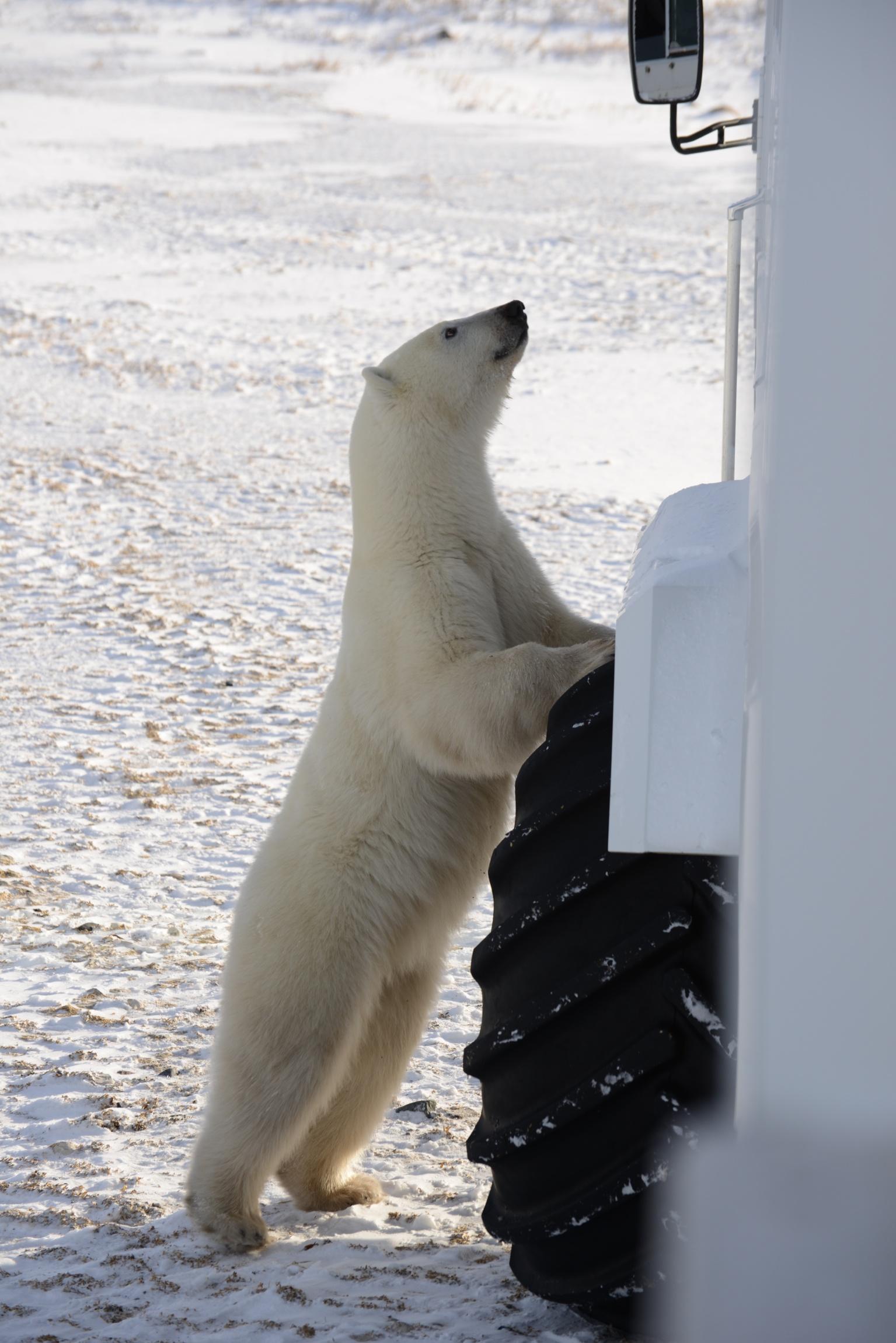 polarbear_9410.jpg