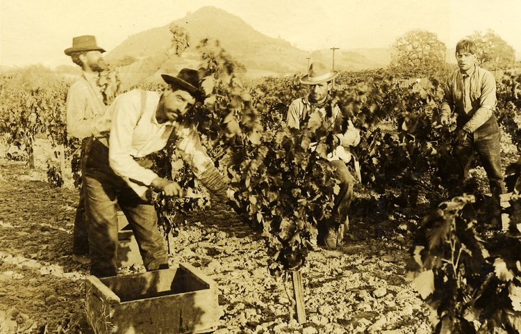 Simi vineyards, 1905