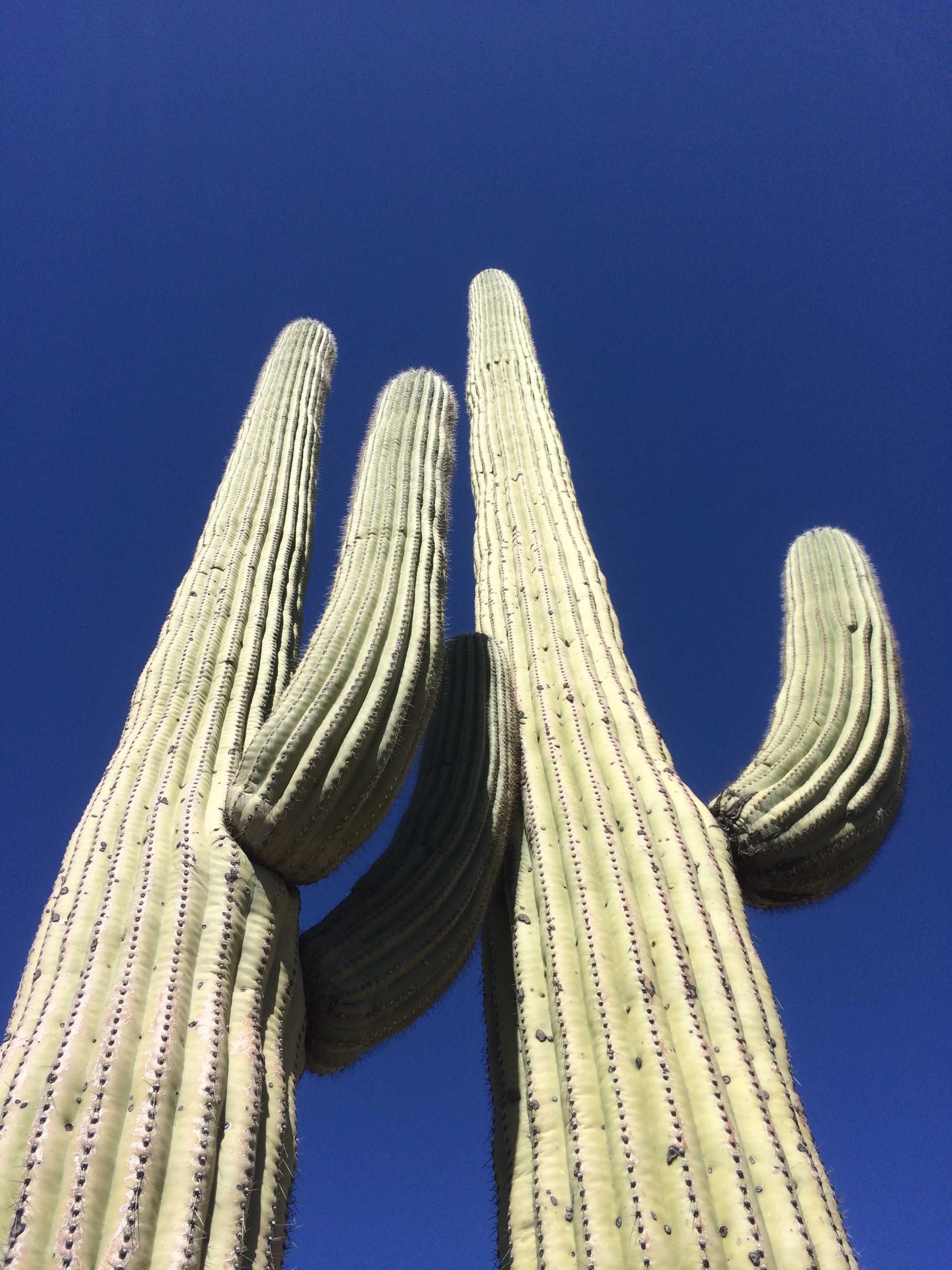 Saguaros can weigh up to 8 tons!