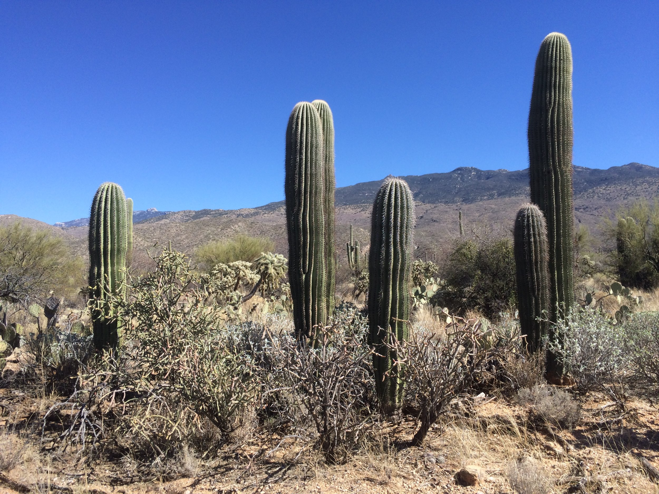 Saguaros grow slowly. These little ones are probably 15-20 years old.
