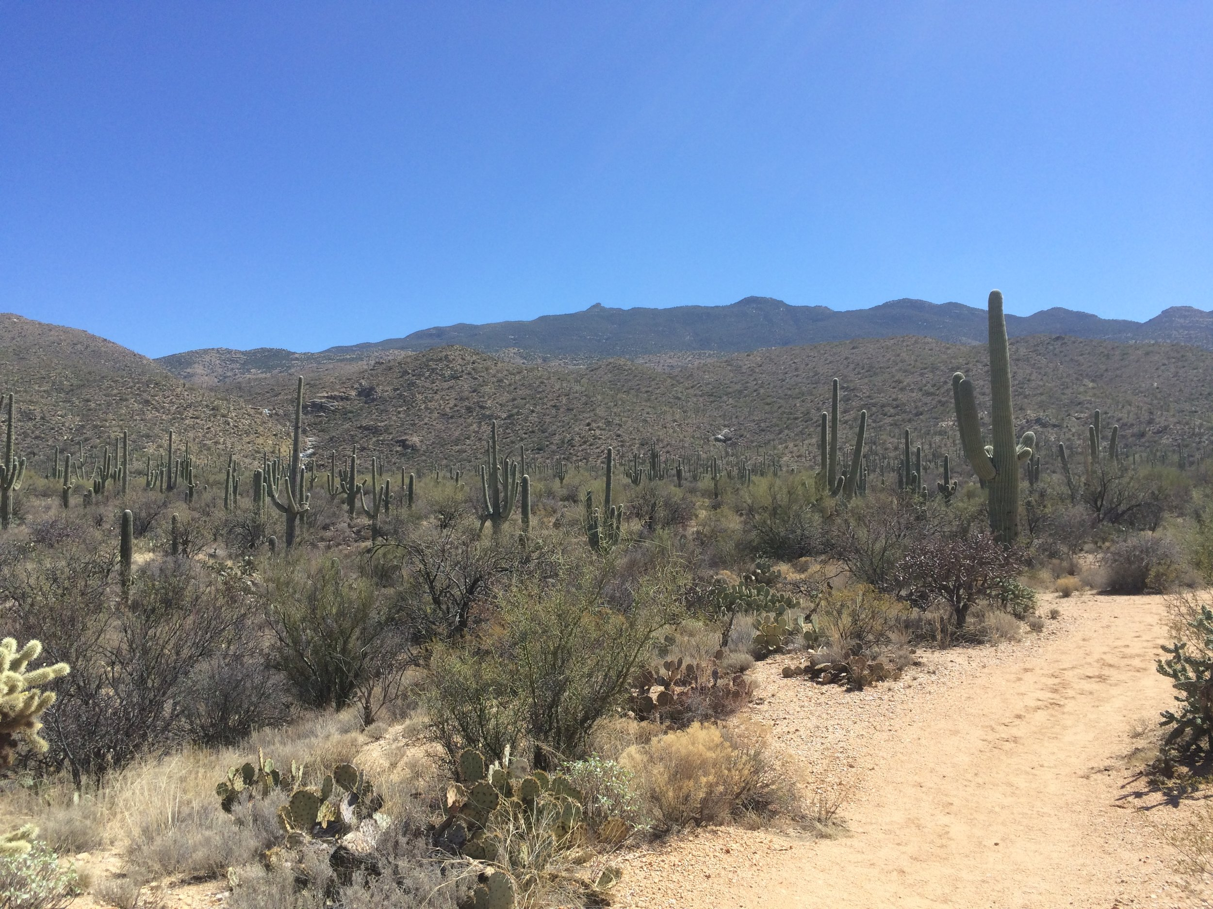 The lower areas of the park are thick with cacti.