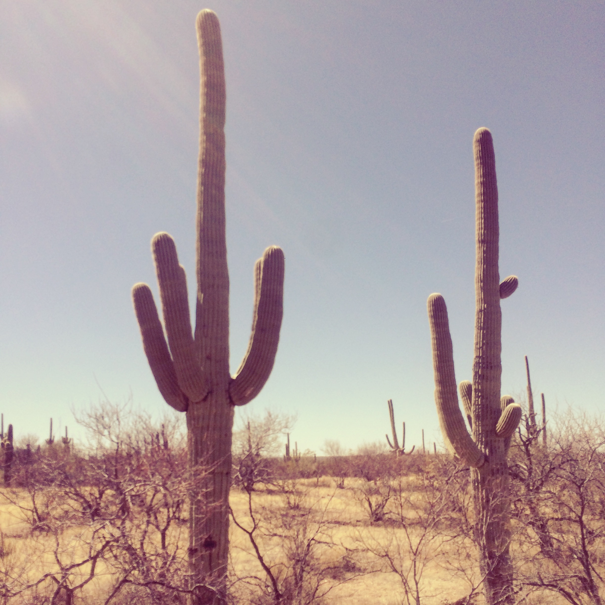 Saguaros are timeless in their majesty.