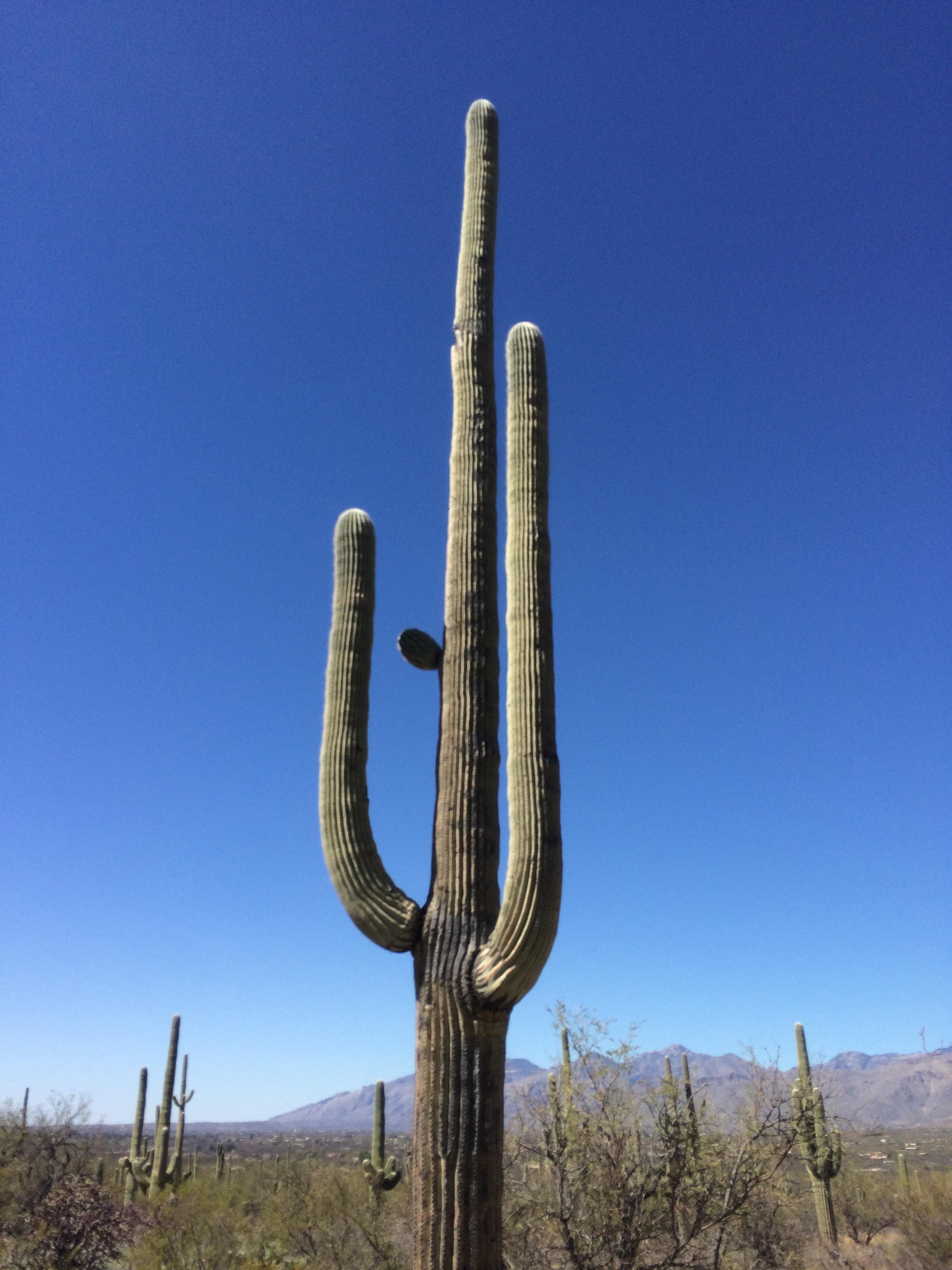 Saguaros dwarf mere humans.