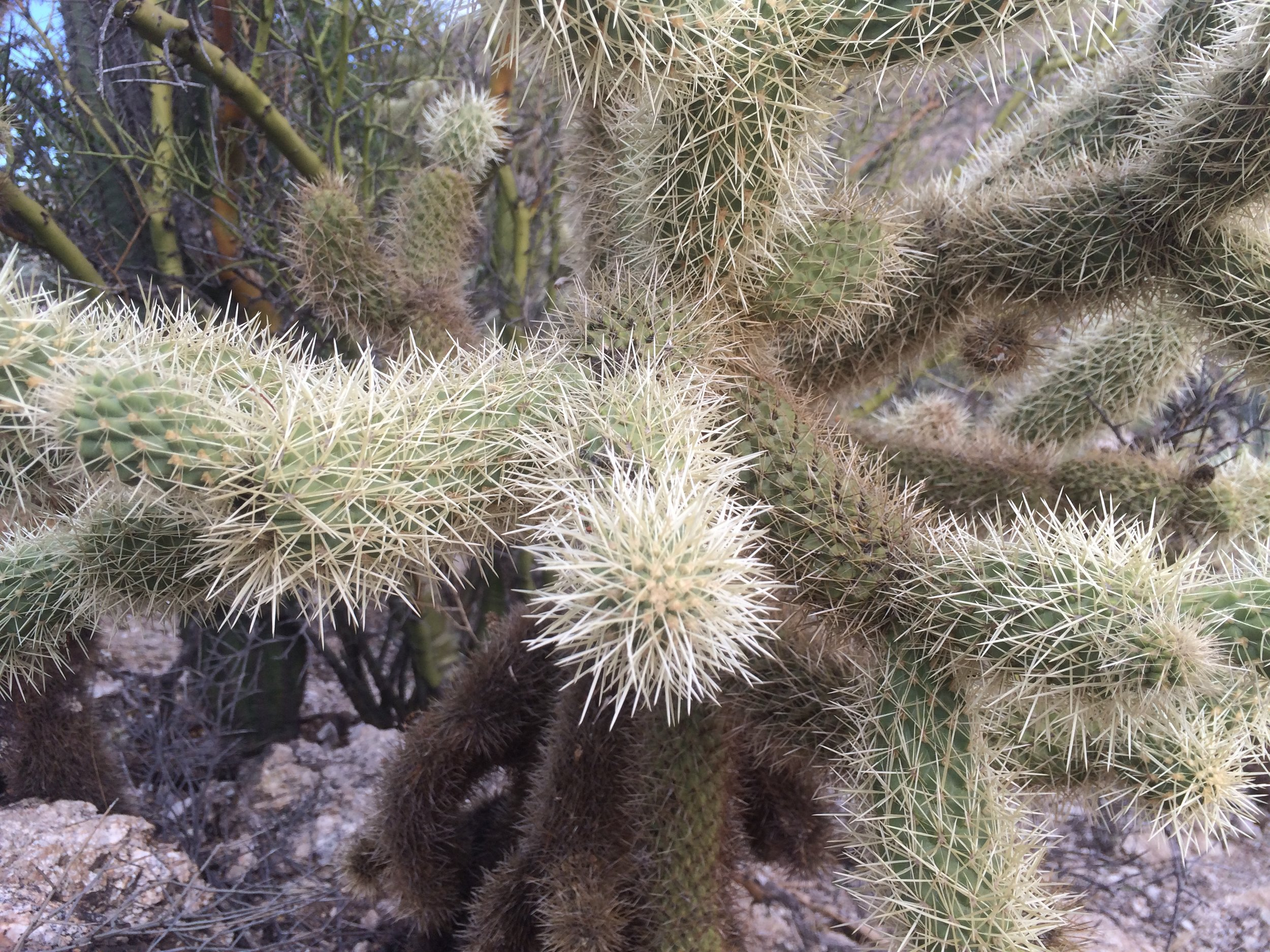 Cholla (Hoy-A) cacti look almost fuzzy from a distance, having more spikes on its many arms.