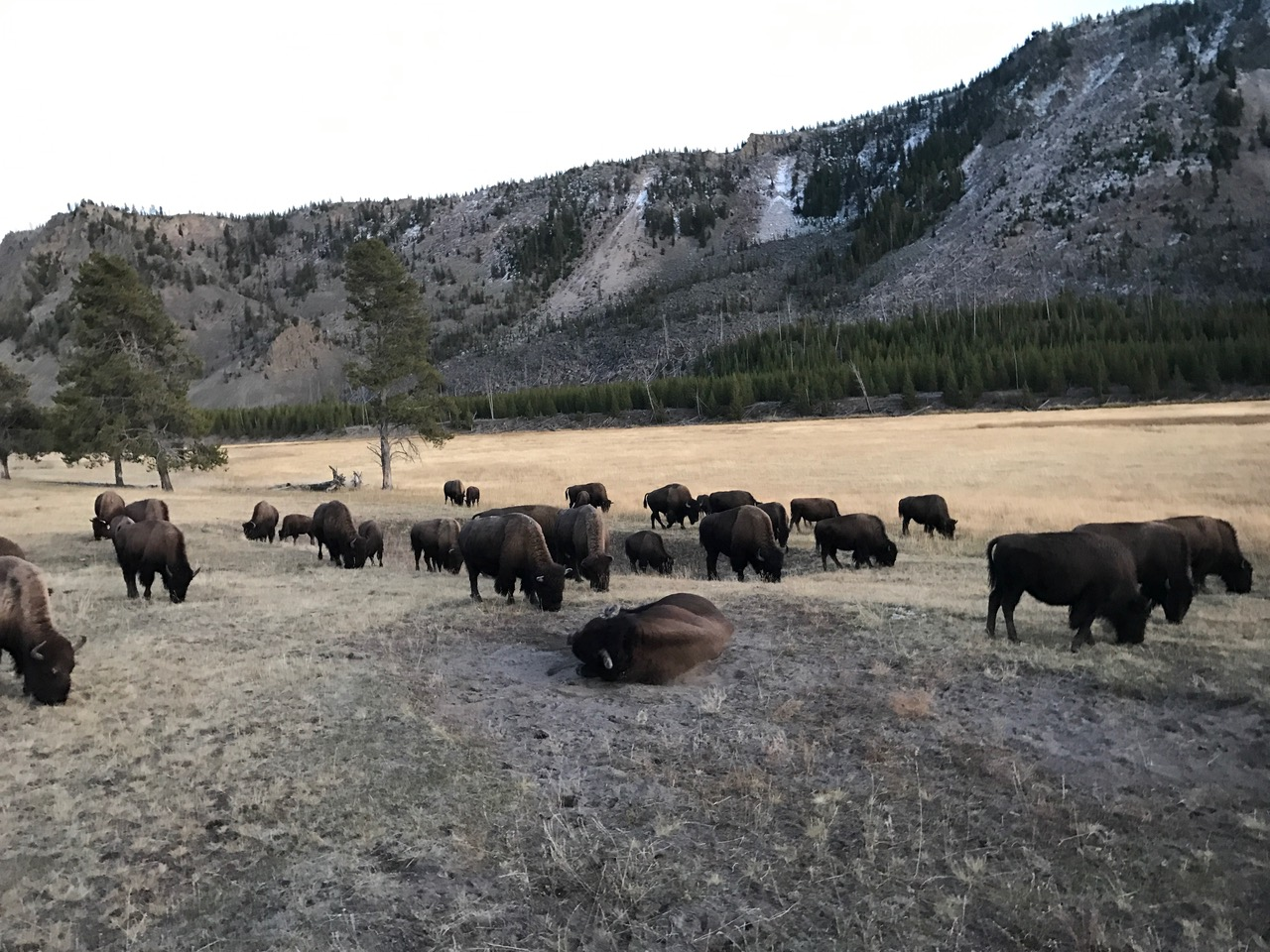 A bison herd moving through a field