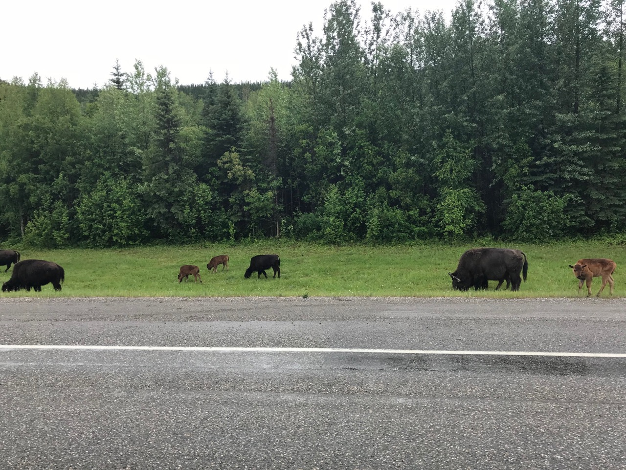 These are Wood Bison, smaller then their plains cousins but still big. This herd had many babies!