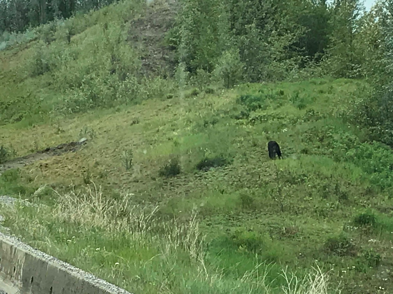 One of our only photos of a bear saw from the road. This one ran away when we pulled up.