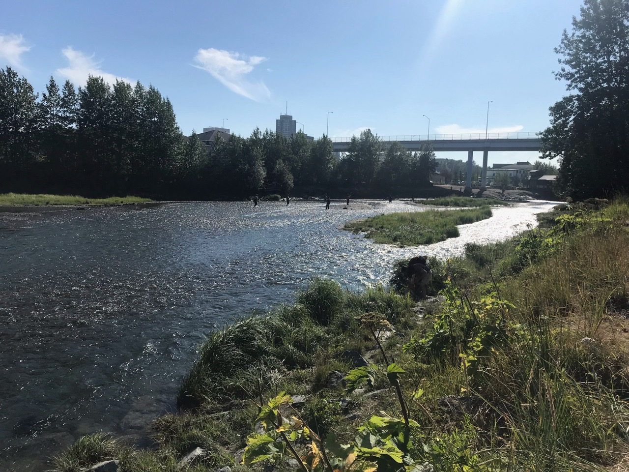 Ship Creek is home to thousands of salmon.