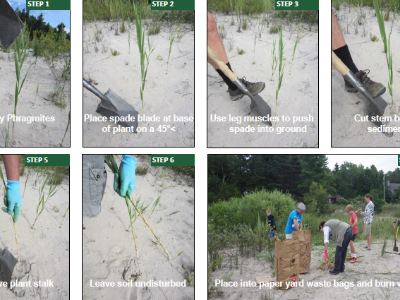 Cutting to Drown and Spading Phragmites -