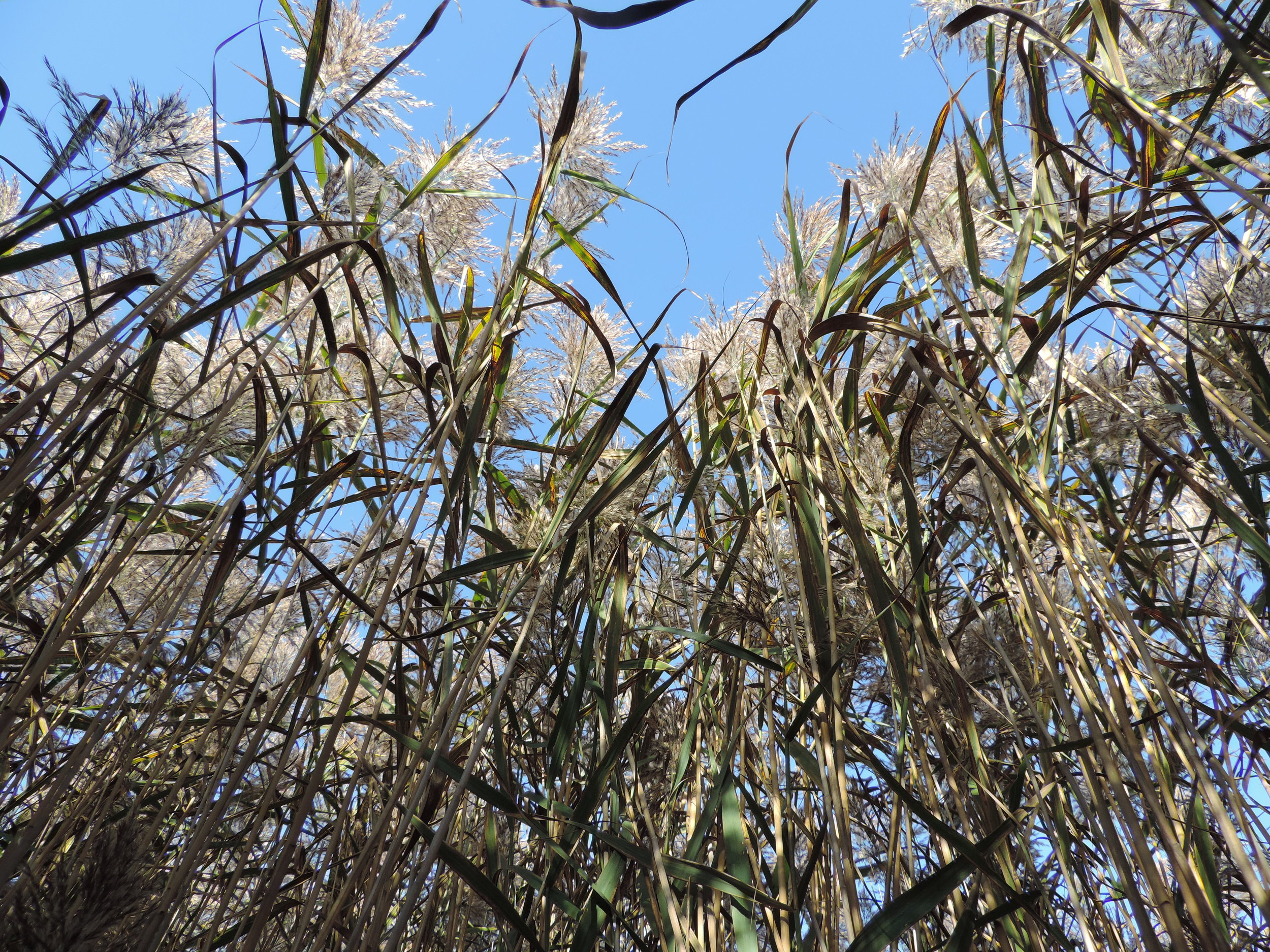 What is Common Reed (Phragmites australis)? -