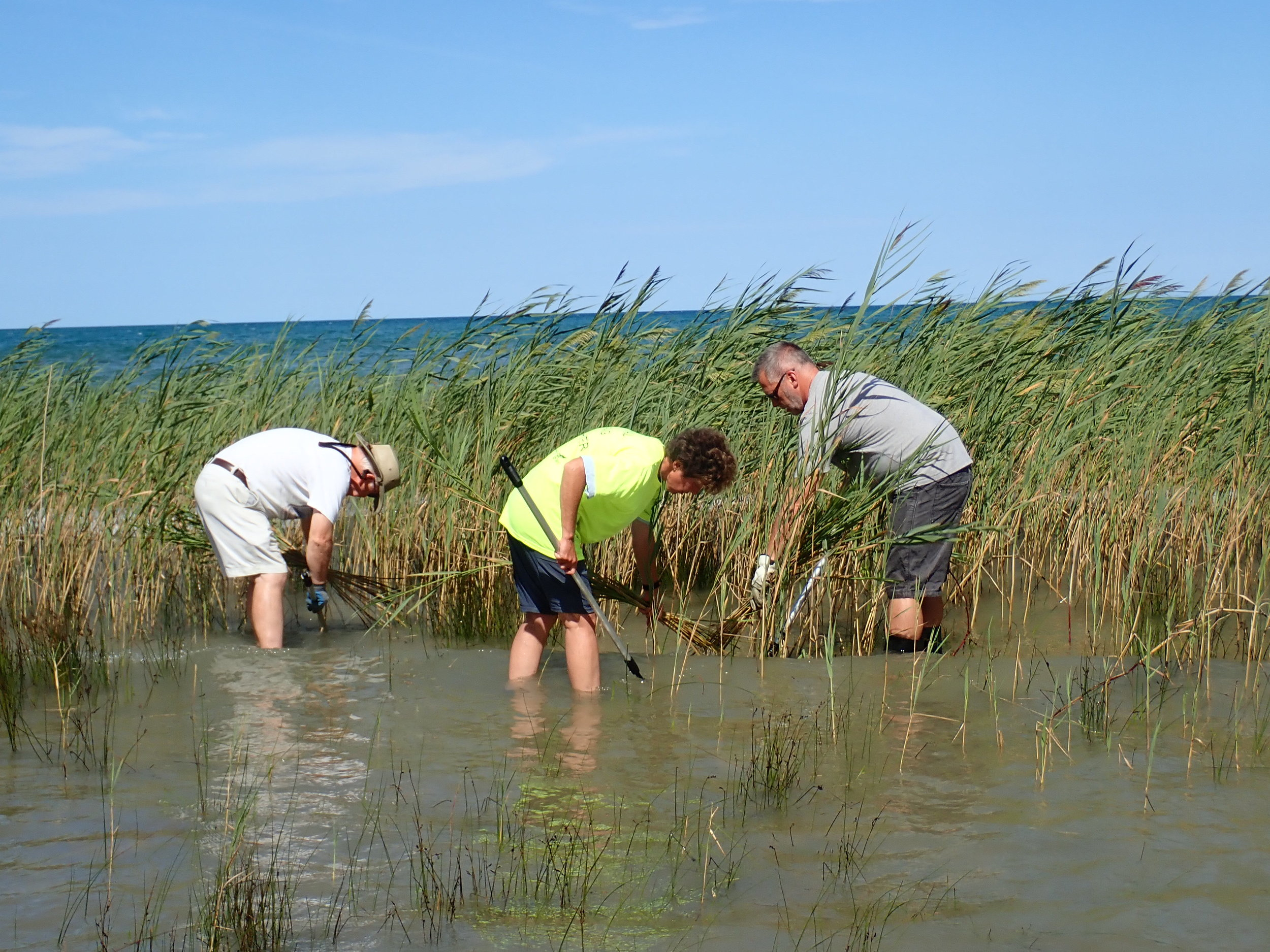 Dr. Gilbert and several volunteers cut  Phragmites  with cane cutters in MacGregor Provincial Park.