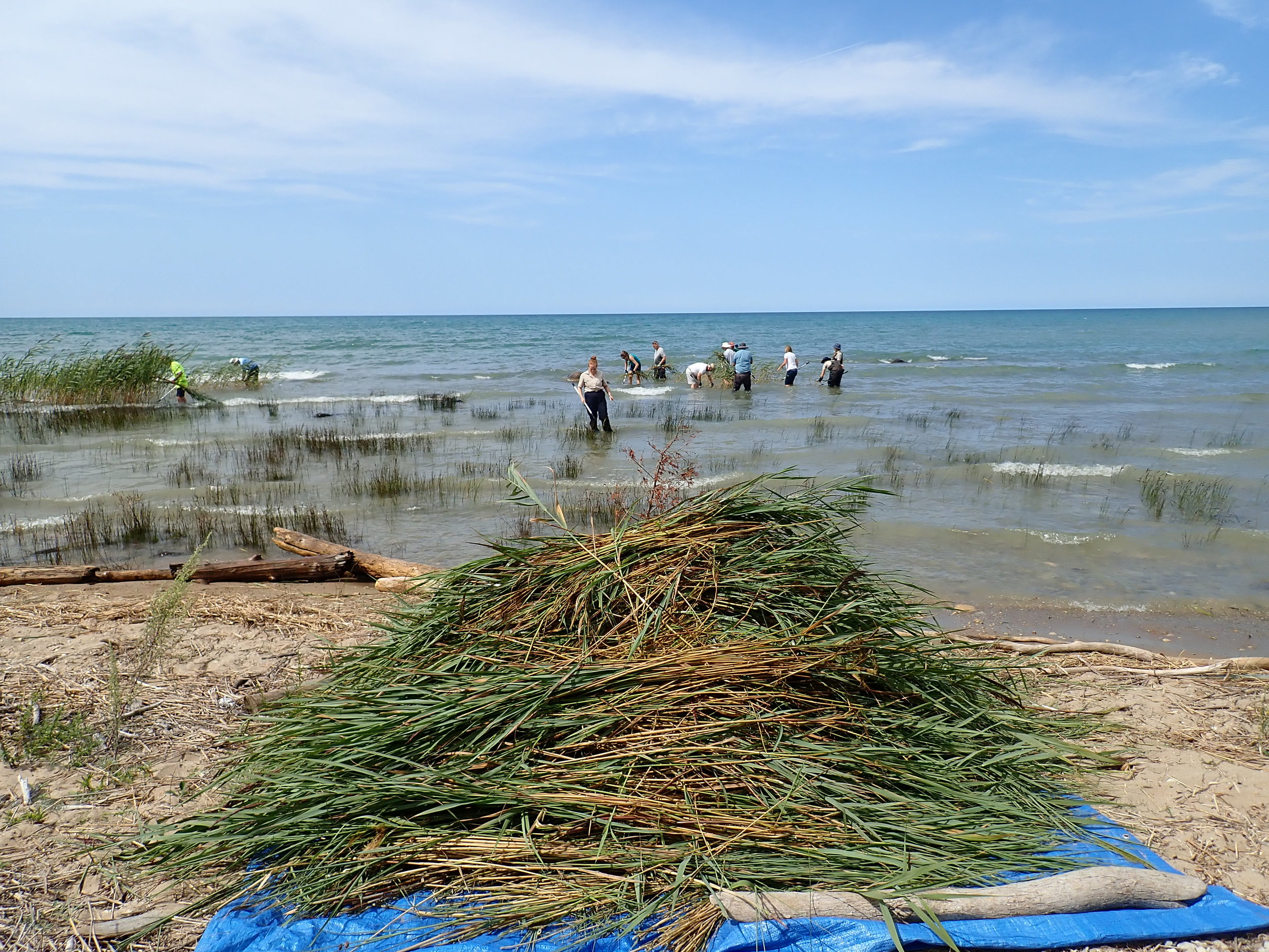 A respectable pile of  Phragmites  gathered by volunteers in MacGregor Provincial Park.