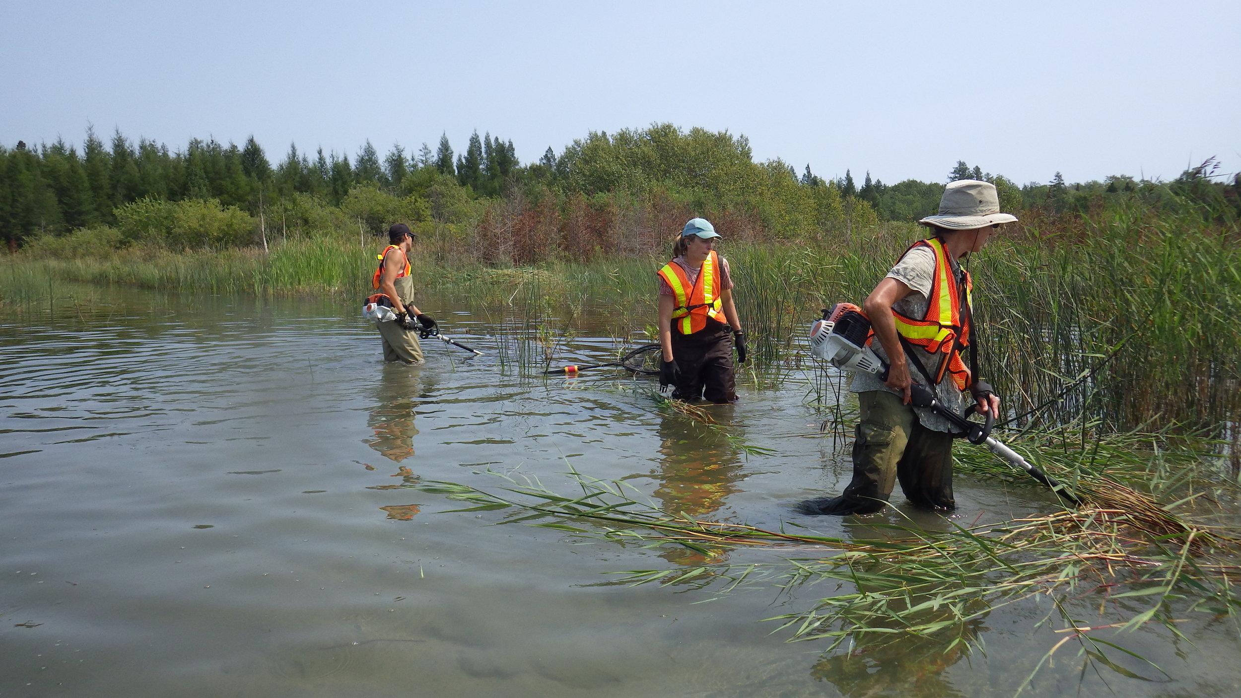 Cutting to drown  Phragmites  using STIHL cutters.