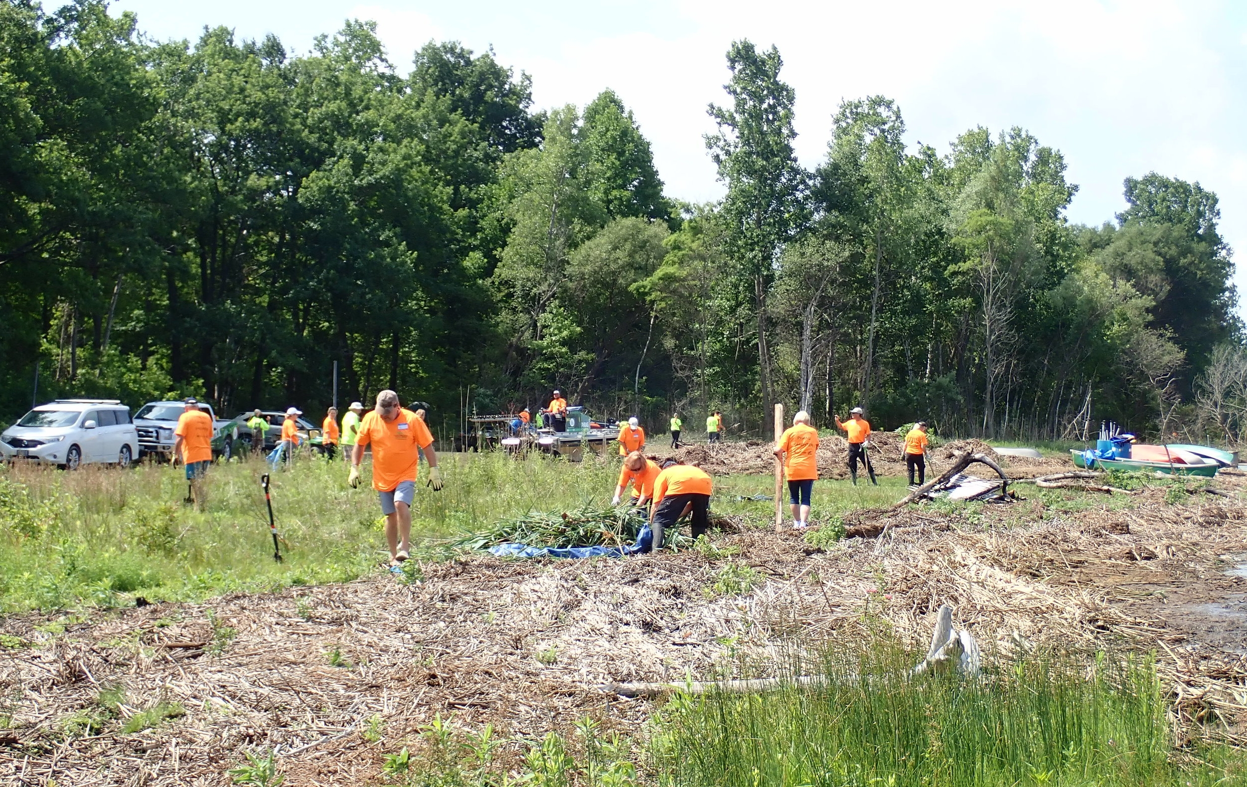 Volunteers cut and gather  Phragmites  along the Lake Huron shoreline.