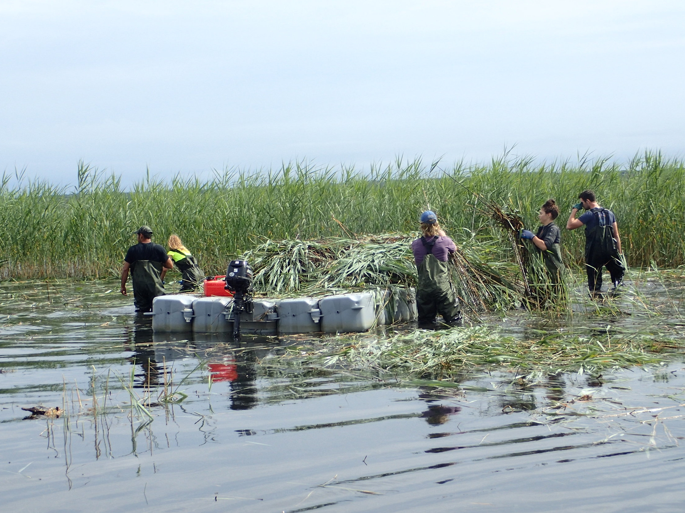 Volunteers pile  Phragmites  on a collection barge.