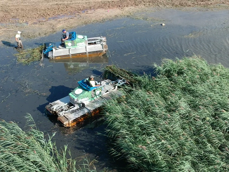 The crew gathers cut  Phragmites  along the Lake Huron Shoreline.