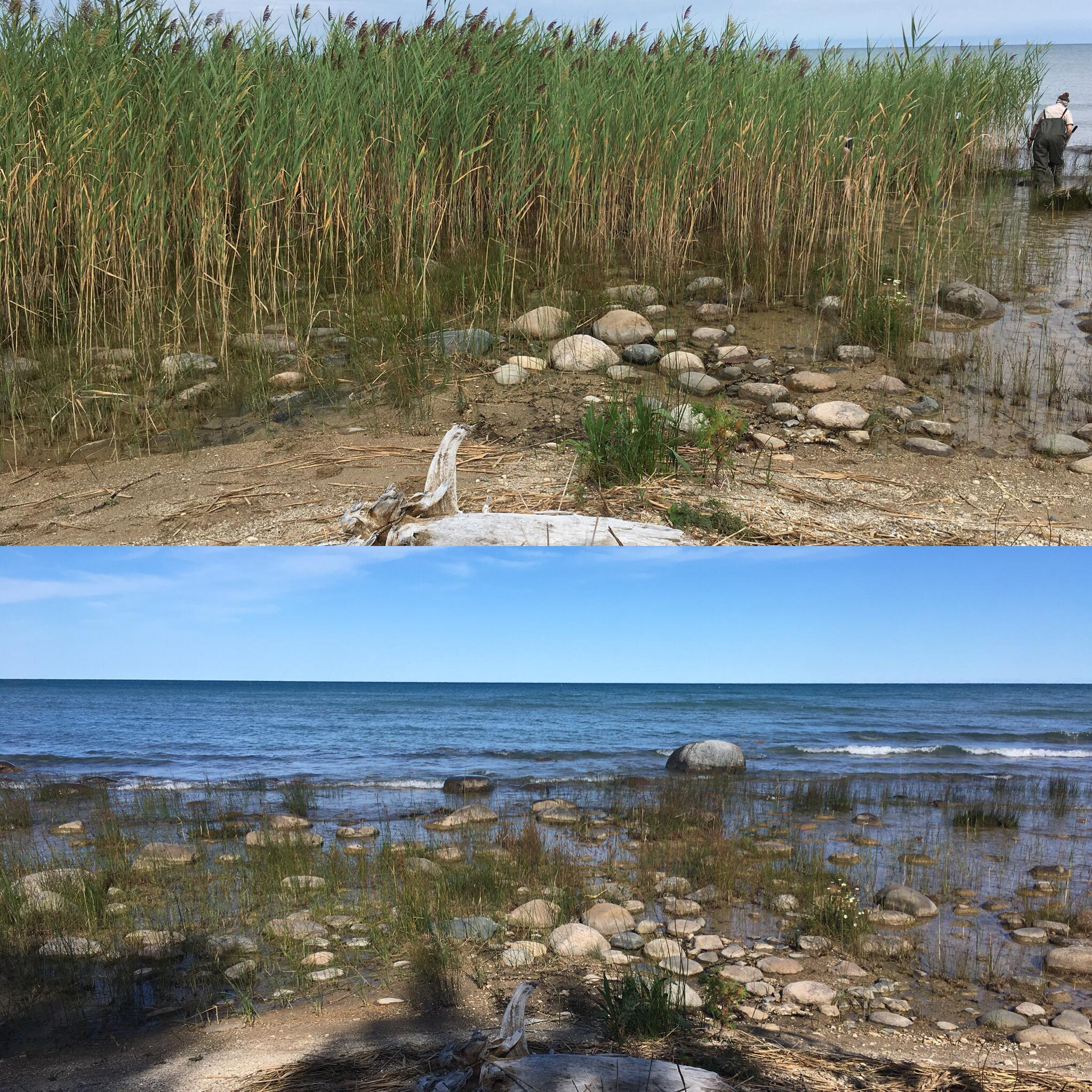 A photo showing before and after cane cutting in MacGregor Provincial Park. Photo courtesy of Kathleen Houlahan.