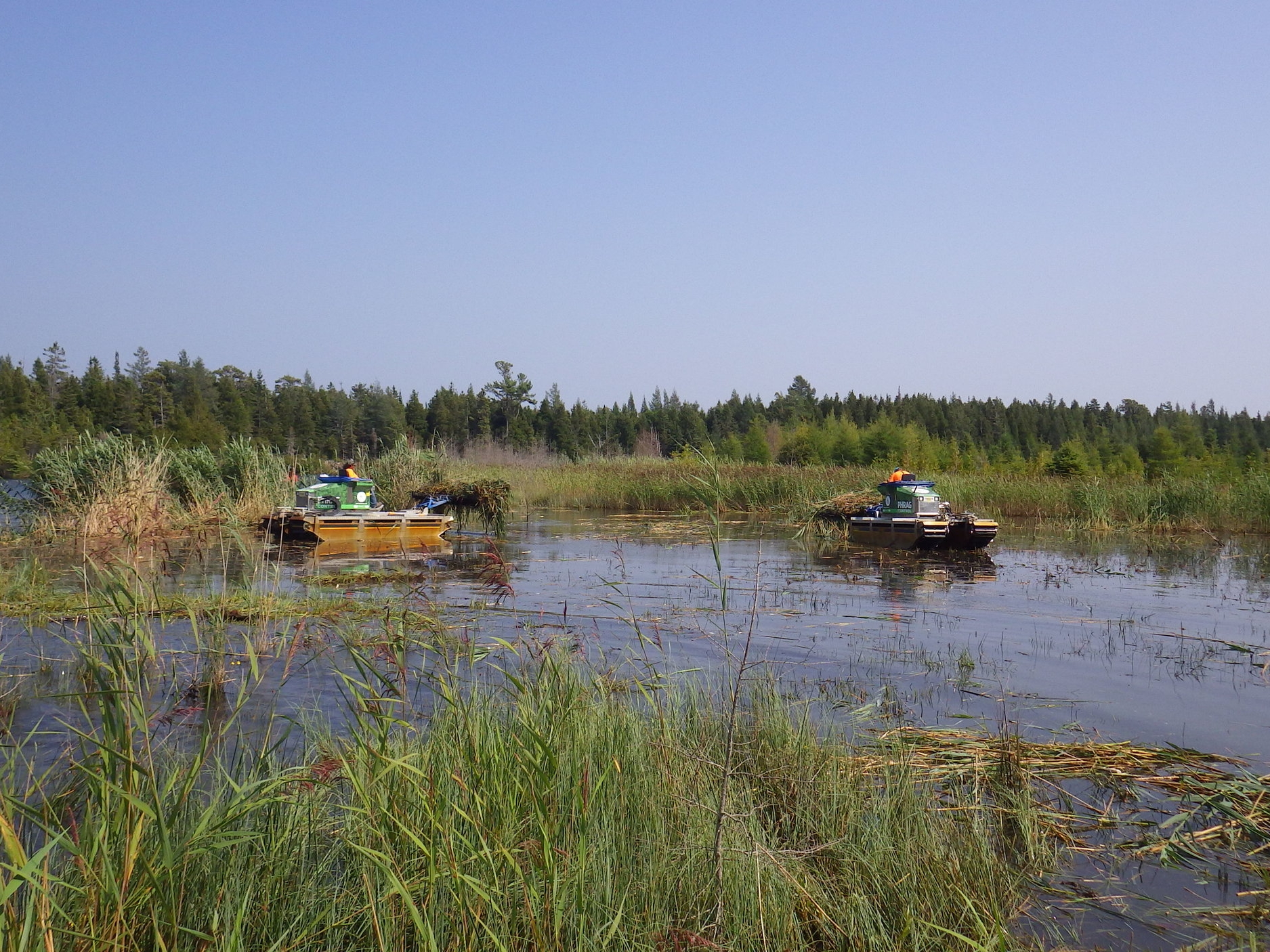 Truxors carry  Phragmites  to shore after being cut.