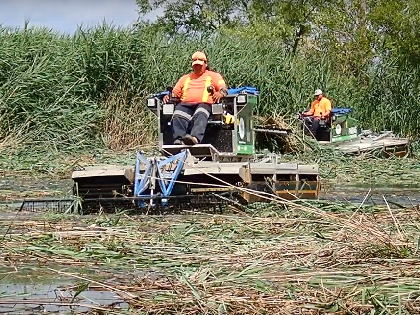 Gathering and cutting  Phragmites .