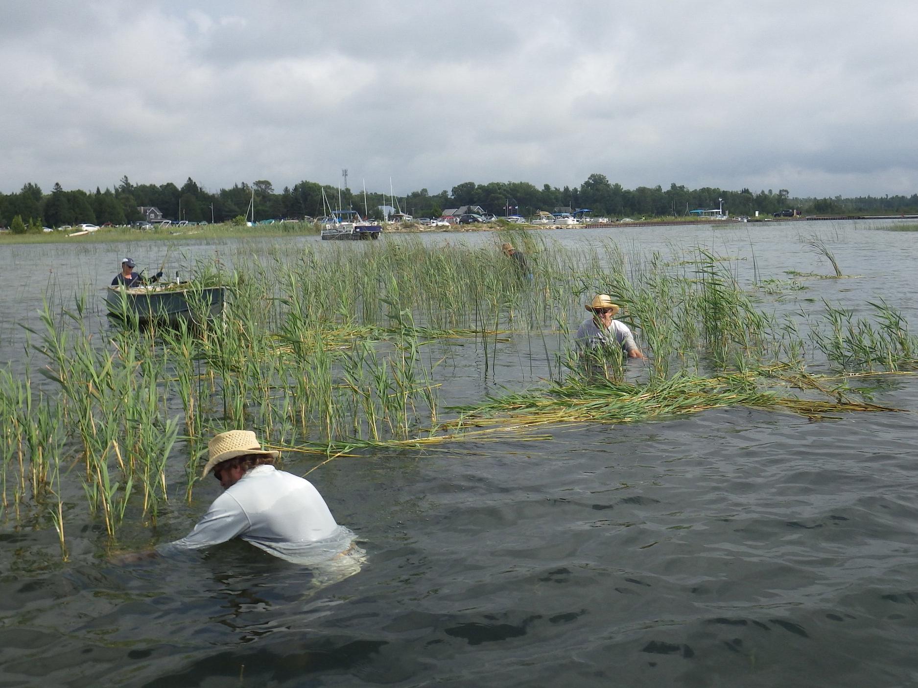 Volunteers cut  Phragmites  at Oliphant.