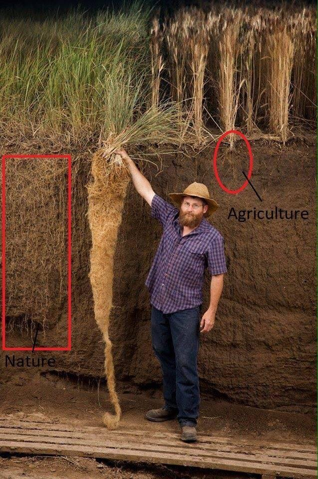Land Institute researcher, Jerry Glover, holding an example of kernza, a perennial wheatgrass plant. Compare the root network of the perennial plants (left) to that of traditional bread wheat (right).