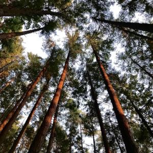chuckanut tree canopy.jpg