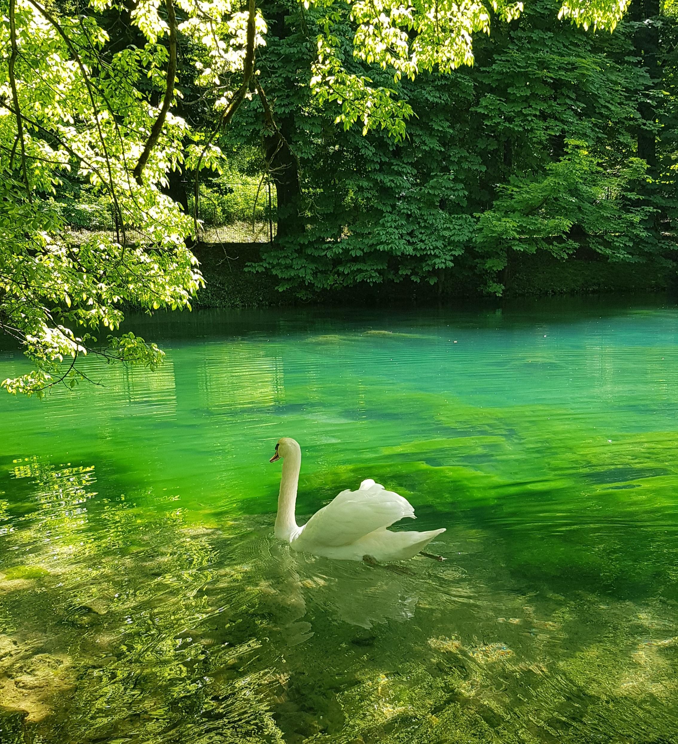 Cisne bem tranquilo em Vrelo Bosne, um parque bem próximo de Sarajevo, na Bósnia (sem filtro!)