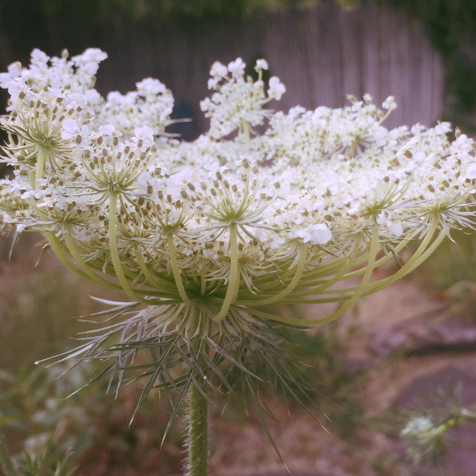 lace flower.jpg