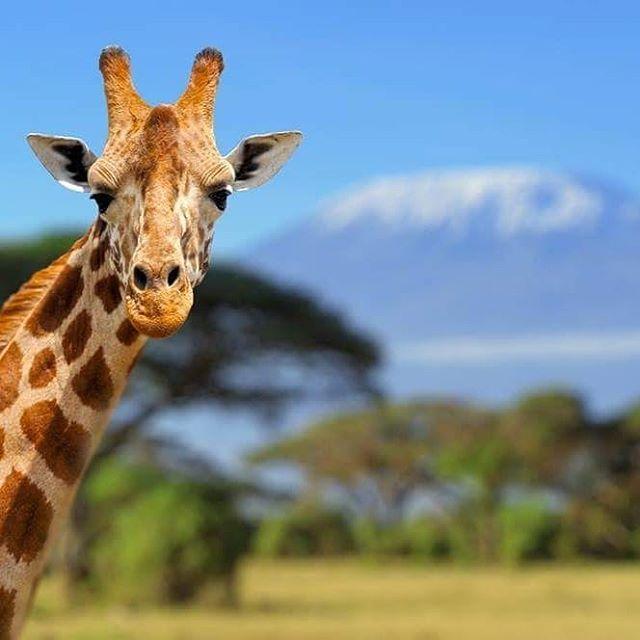 #Kilimanjaro #PhotoOfTheDay goes to @lorixmolo