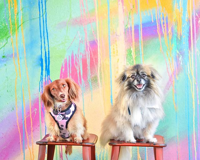 Can't start a new week without my #lucky Penny ✨ @onecentween . . . Serious case of fomo for their #sdweens meet up today!! 😍. . . .  ____________________ #MoreColorPlease #woofandwalls #colorcoulorlovers #thatsdarling #inspiremyinstagram #dogsofhouston #htx #houstonlife #pettalkmagazine #barked #weeklyfluff #weinerdog #doxie #onecentween