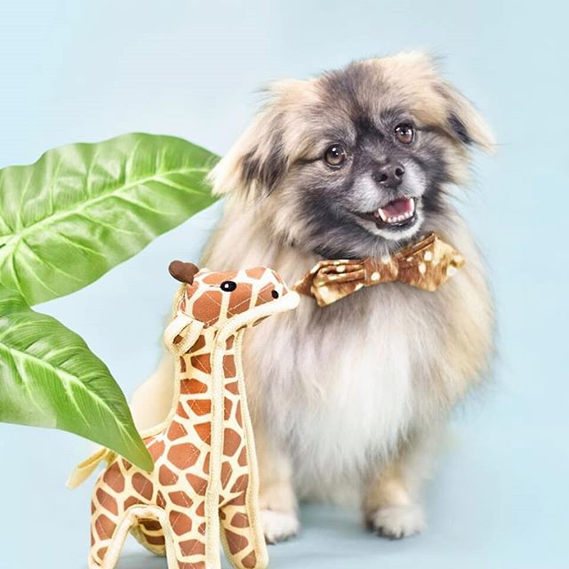 Second best thing to a camel on hump day 🐫. . . You can grab your own jungle friend @heb ! #woofandwhiskerspet #ad . . . .  ____________________  #itsajungleouthere #heb #hebpets #hebtxpettour #zilkerbark #dogsofhouston #dogsoftexas #houstonlife #pettalkmagazine #weeklyfluff #petfluencer #dogmodel #HumpDay