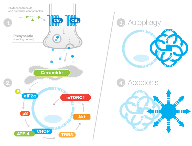 Cannabinoids bind to CB1 and CB2 receptors. This binding activates a series of reactions that induce autophagy of the cancer cell. Autophagy is the protective process our body uses on all damaged cells, degrading old cellular components, and then recycling them to form useful nutrients and energy. In the case of cancer and cannabinoids, the cannabinoids trigger first, autophagy of tumor cells, which then leads to apoptosis (programmed total cell-death) of the cancer cell.