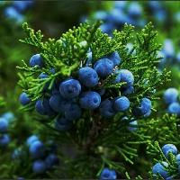 juniper-bush.jpg