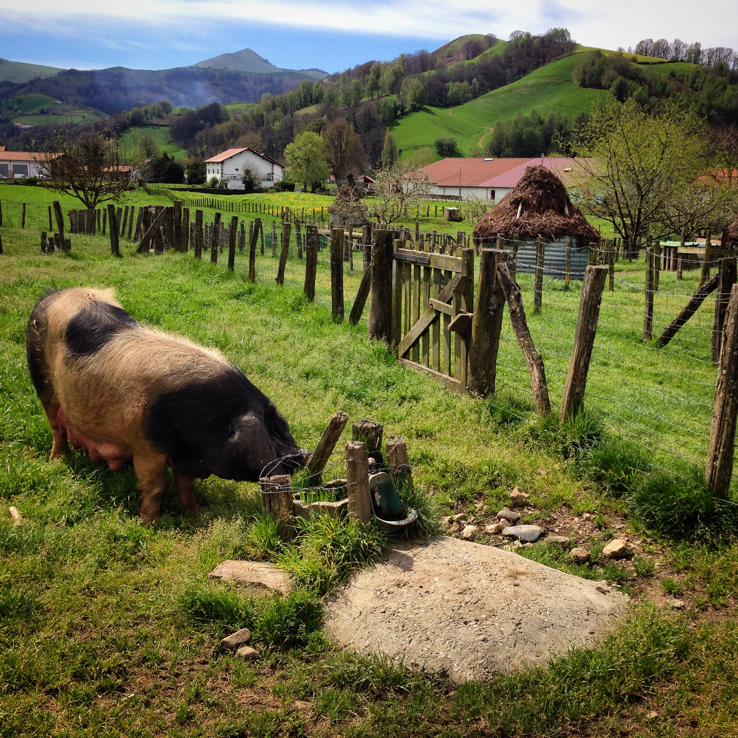 The famous Basque Pig in its native setting