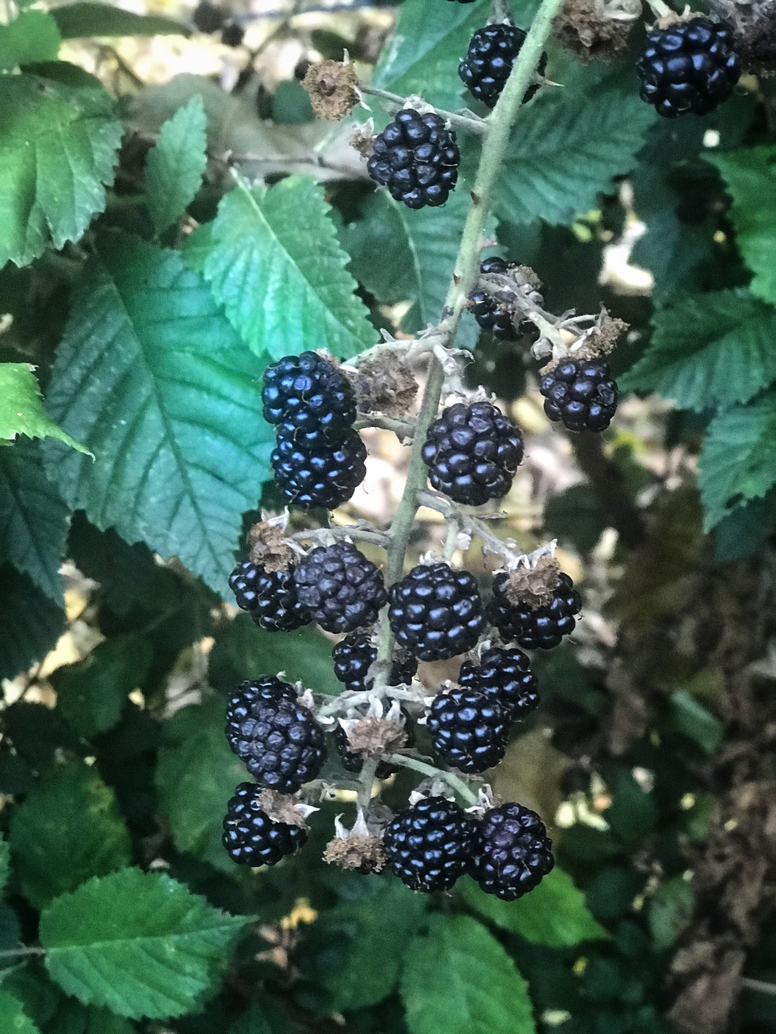 wild blackberries by the chicken yard