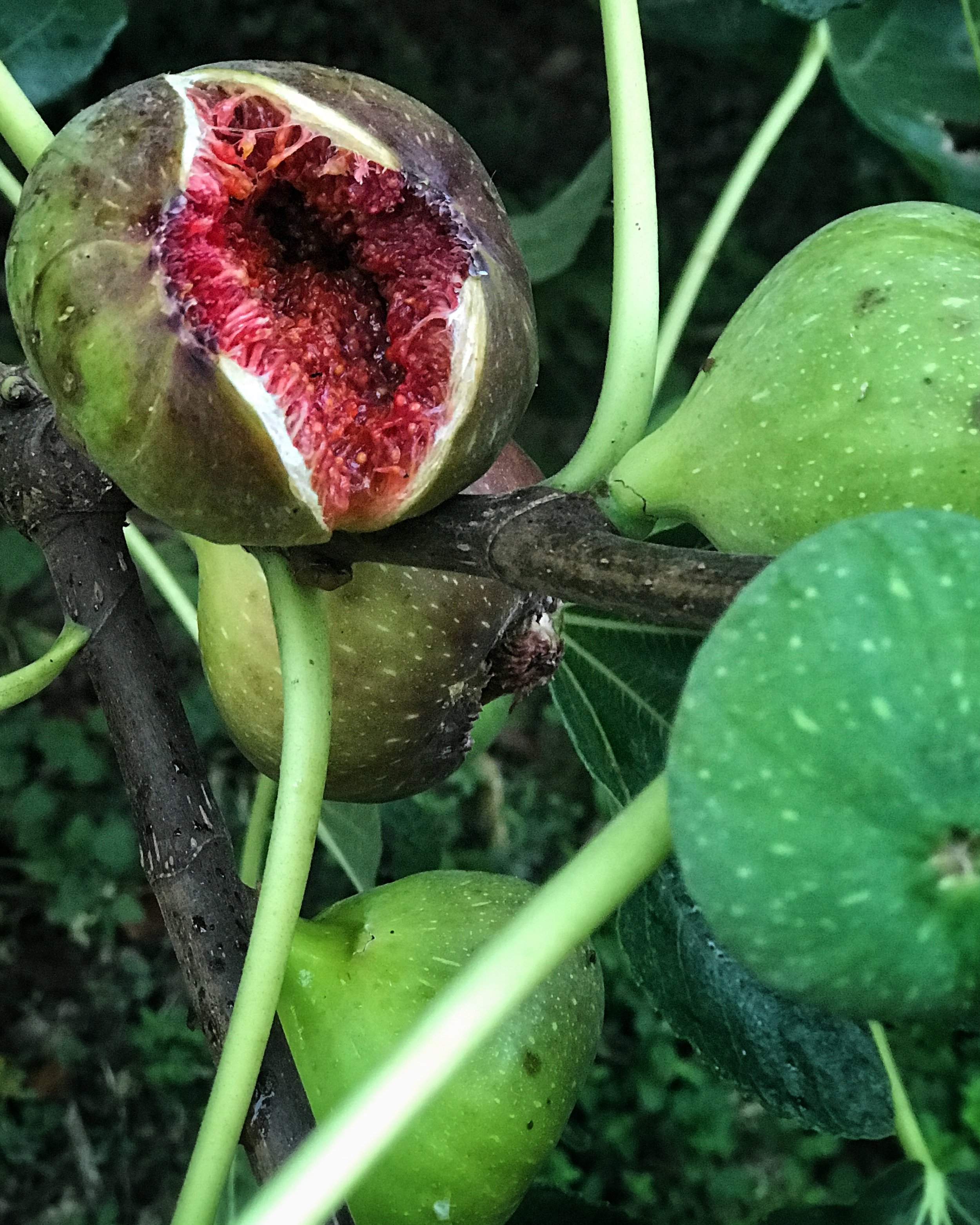 ripe figs splitting in the heat