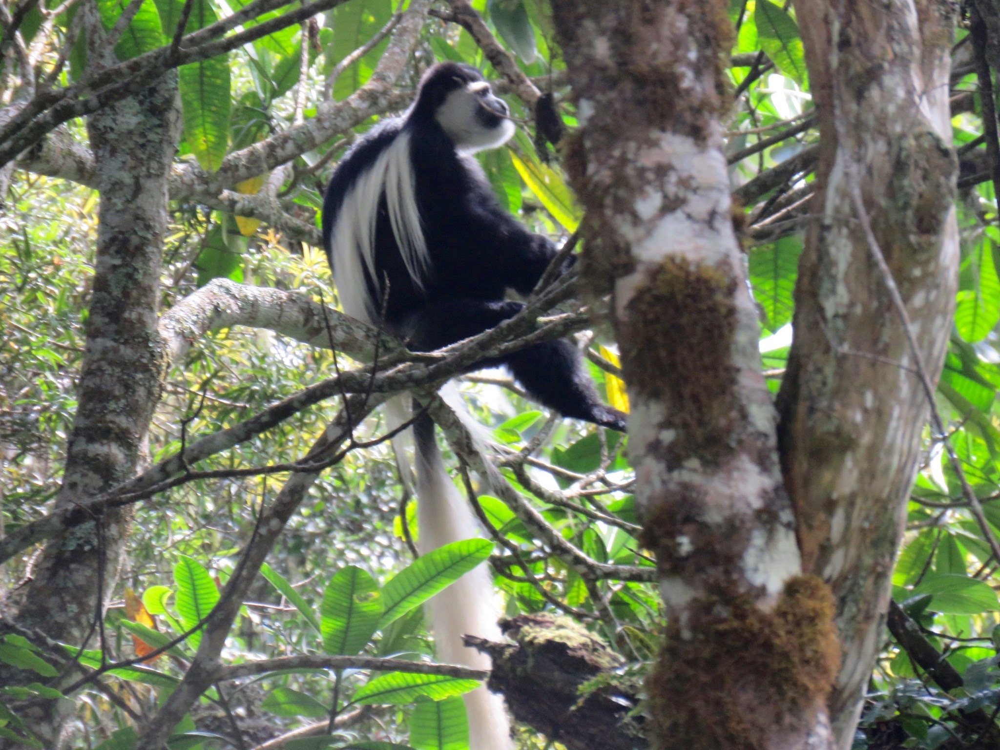 Colobus monkey in the rainforest of the Mount Kenya National Park